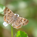 Powdered Skipper