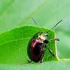 Eumolpine Leaf beetle