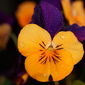 Viola by Veronika Gallova - Flowers Single Flower ( flower macro, macro flower, violet, viola, flower,  )