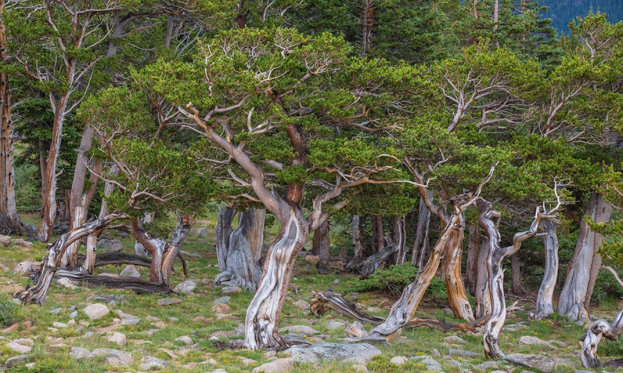 The Ents of Mt. Evans by Richard Duerksen - Nature Up Close Trees & Bushes ( bristlecone pines, mt. evans, colorado, trees, pine trees, ents )