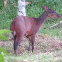 Central American brocket deer