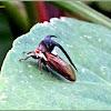 Thorn-mimic or Horned Treehopper