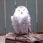 Snowy Owl (young)