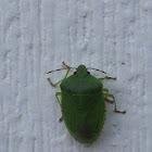 Green stink bug???