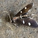 Grape Leaf Folder Moth