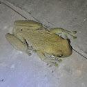 Common MilkTreefrog (rana de leche)