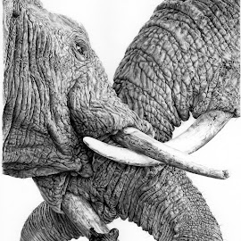 by Karen Phillips - Drawing All Drawing ( elephants, pencil, realistic, african, black & white )
