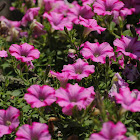 Supertunia®Raspberry Blast Petunia Hybrid
