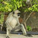 Gray Langur(Hanuman Langurs)