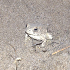 Woodhouse's Toad