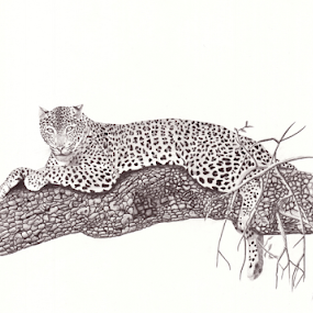Vantage by Paul Murray - Drawing All Drawing ( draw, pencil, nature, wildlife, drawing, leopard, animal )