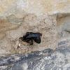 Black mason hornet