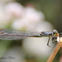 Pacific Forktail (Feeding)