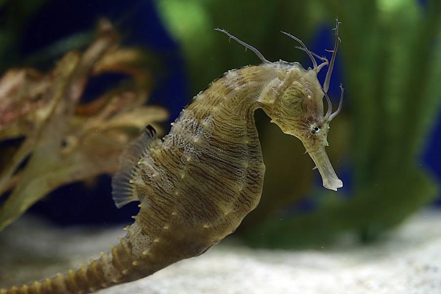Rhinestone Cowboy by Jared Lantzman - Animals Sea Creatures ( sea creature, fish, horse, sea, ocean, animal, seahorse, , sea creatures, underwater life, ocean life )