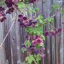 Ekebia (sp?) blossoms