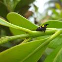 Membracid Planthopper