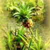 Dwarf Pineapple