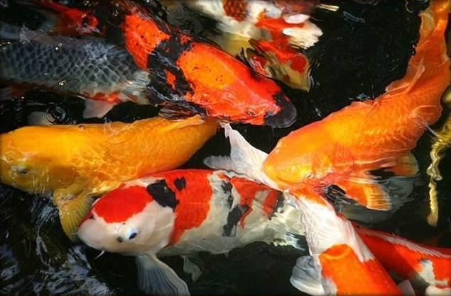Fancy koi fish live wallpaper android apps on google play for Koi fish family