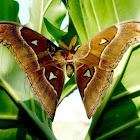 Lorquin's Atlas Moth