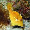 Bristle-tailed Filefish