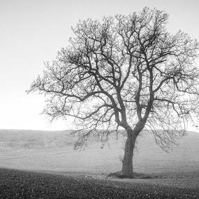 4 trees by Frans Scherpenisse - Landscapes Prairies, Meadows & Fields ( hills, b&w, tree, 4, mist )