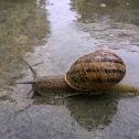 European Brown Snail