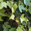Hiedra. Common Ivy
