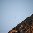 Raven; Cuervo