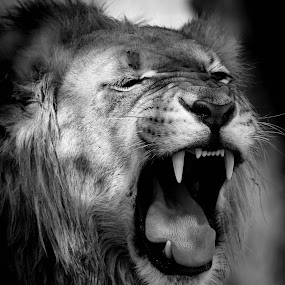 Long Night by Barbara Nolte - Animals Lions, Tigers & Big Cats ( big cat, big five, lion, south africa, wildlife, kgalagadi )
