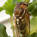 Bush Cicada