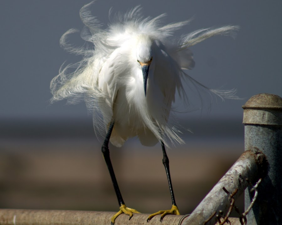 Bad Hair Day by Lasanthica Fernando Benedict - Animals Birds ( funny, bad, cute, enowy, hilarious, hair, egret )