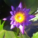 Egyptian Blue Lotus