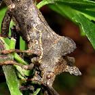 Coreidae (Leaf-footed bugs)?