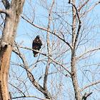 Harlen's Hawk (dark morph)