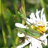Scudder's Bush Katydid (nymph)