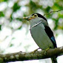 Silver Breasted Broadbill