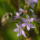 Progressive Bee Fly (40 species)
