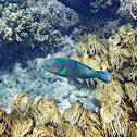 Rivulated Parrotfish