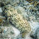 Longfin grouper, aka Longfin rockcod