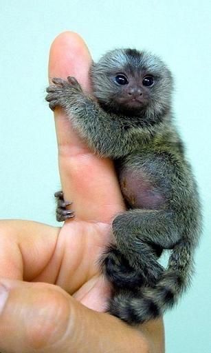 لقرود العيش خلفيات