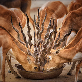 Bouquet Of Horns by Nayyer Reza - Animals Other Mammals (  )