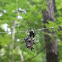 Spined micrathena