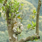 Ant's Plant