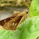 Rice Swift Butterfly
