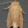 Oblong Sedge Borer Moth