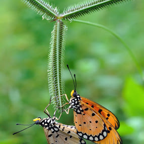 by Joel  Pangoe Rihingan - Animals Insects & Spiders ( animal, butterfy )