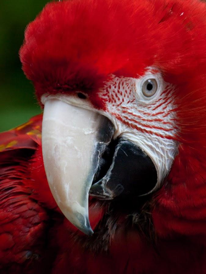 by Tom Reiman - Animals Birds ( , red, green )
