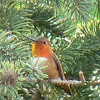Allen's or Rufous Hummingbird?