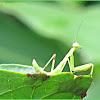 Praying Mantis (Nymph)