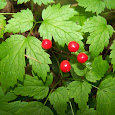 Poisonous Plants of the Pacific Northwest